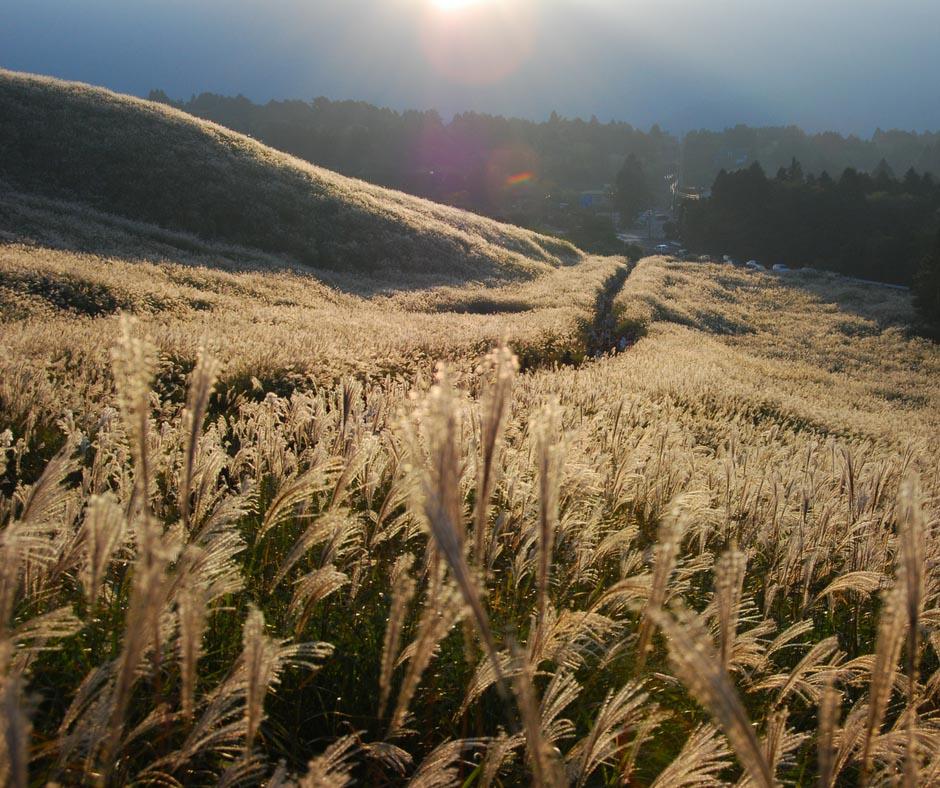 วิวทุ่งหญ้าสีทอง ที่ Sengoku Harimura