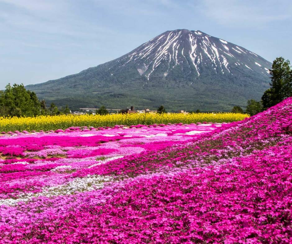 เที่ยวญี่ปุ่นพฤษภาคม ชมพิงค์มอสที่ภูเขามิชิม่า