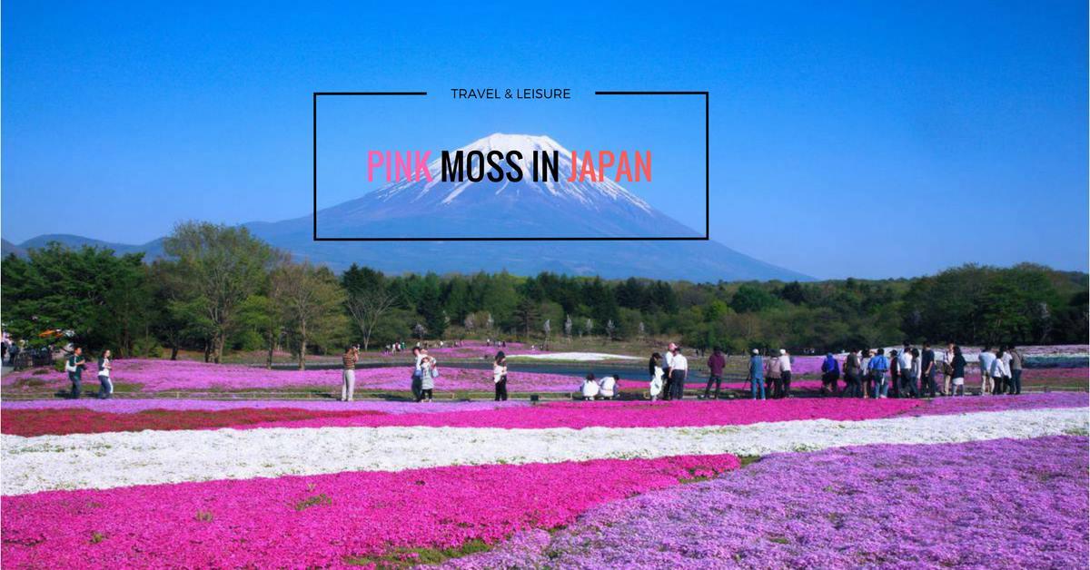 เที่ยวญี่ปุ่นพฤษภาคม ชมพิงค์มอส