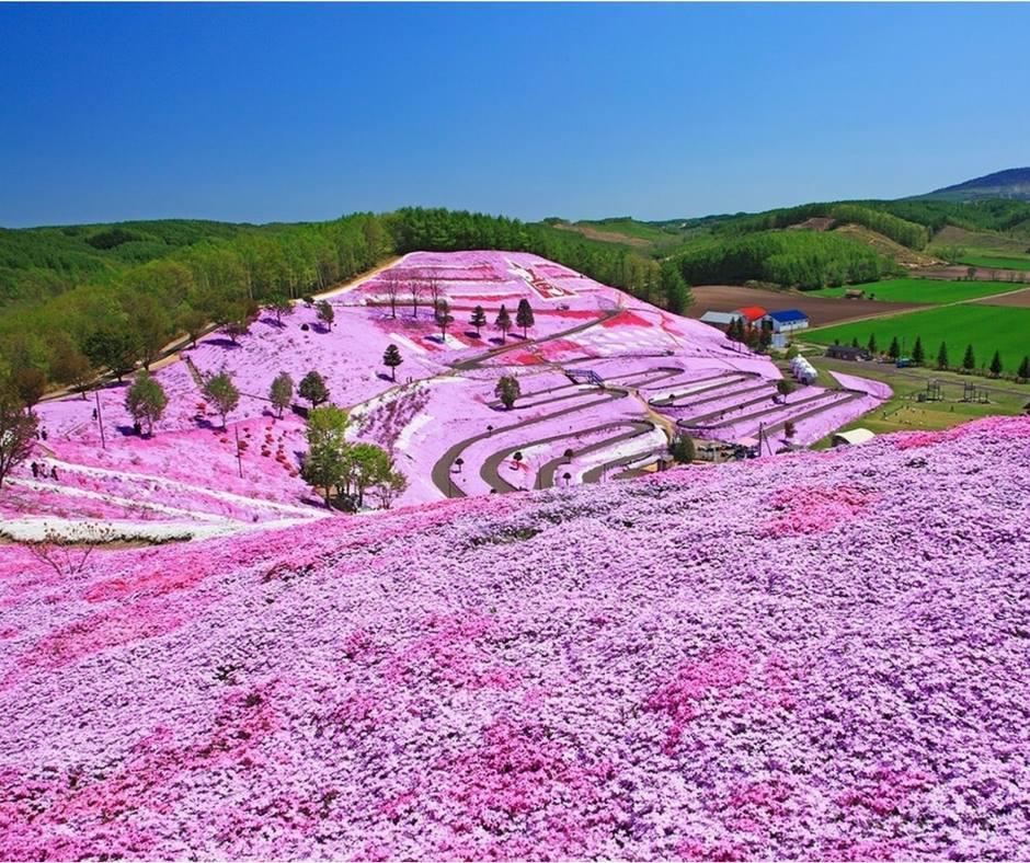 เที่ยวญี่ปุ่นชมพิงค์มอสฮอกไกโด