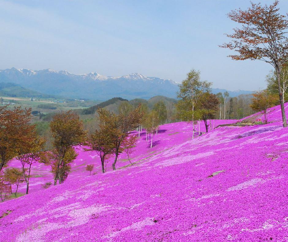 เที่ยวญี่ปุ่นพิงค์มอสฮอกไกโด