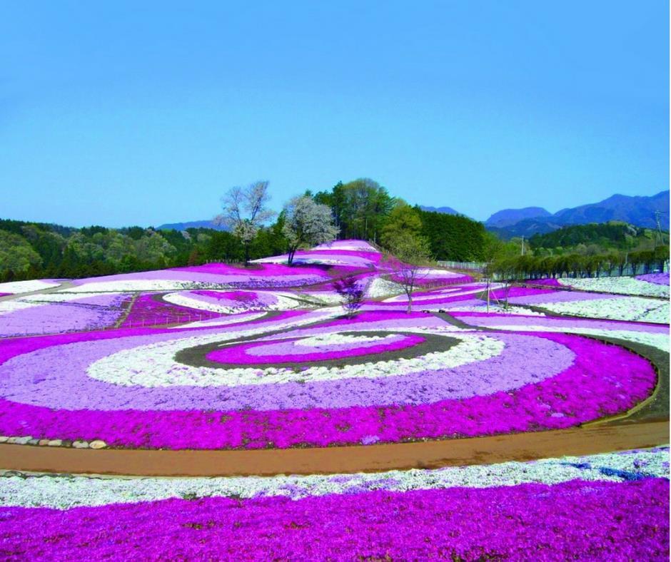 เที่ยวญี่ปุ่นทุ่งพิงค์มอสมิซาโตะ