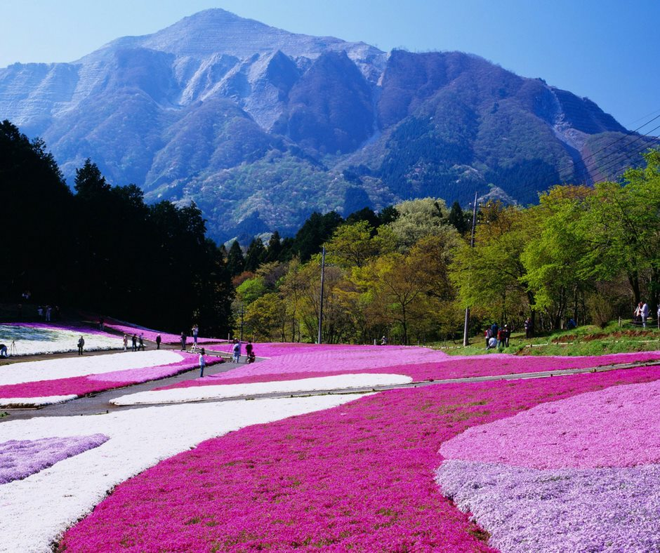 เที่ยวญี่ปุ่นชมพิงค์มอสไซตามะ