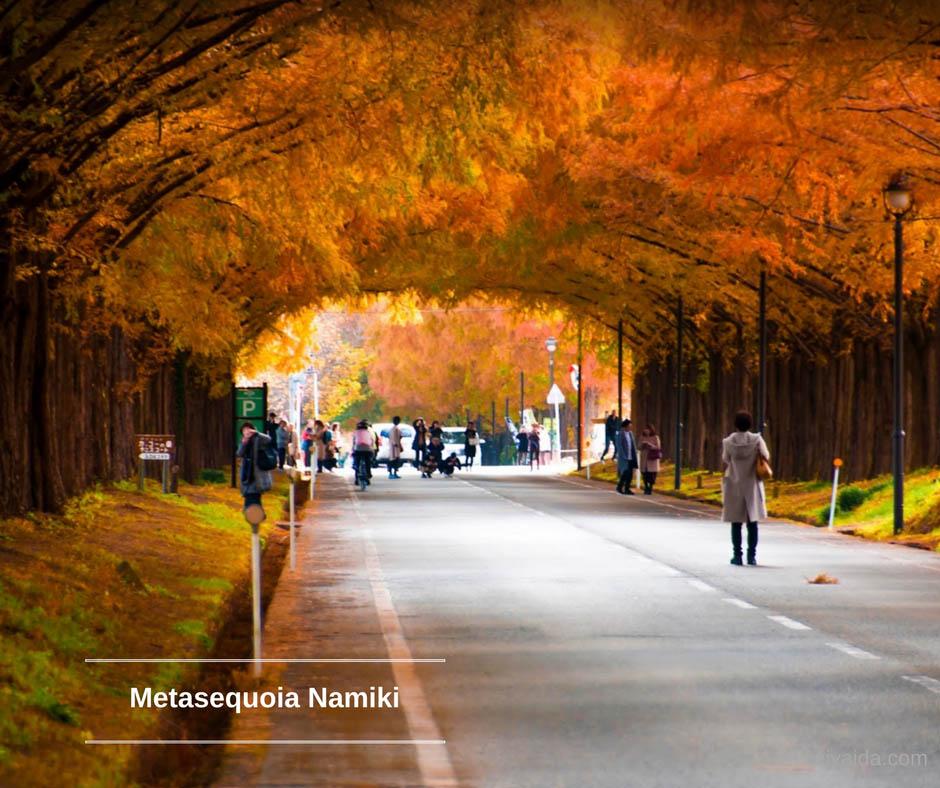ใบไม้เปลี่ยนสี ที่ Metasequoia Namiki