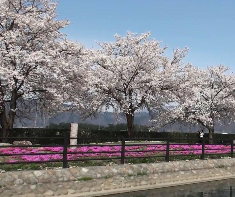 เที่ยวญี่ปุ่นชมพิงค์มอสนากาโน่