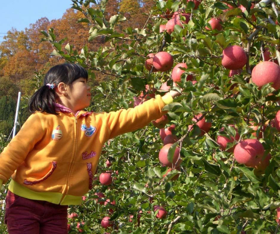 เที่ยวญี่ปุ่นเก็บแอปเปิ้ล