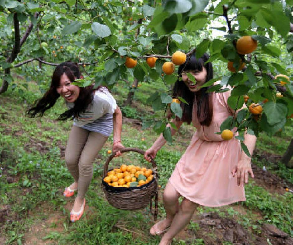 เที่ยวญี่ปุ่นเก็บผลไม้ ที่สวนApicot