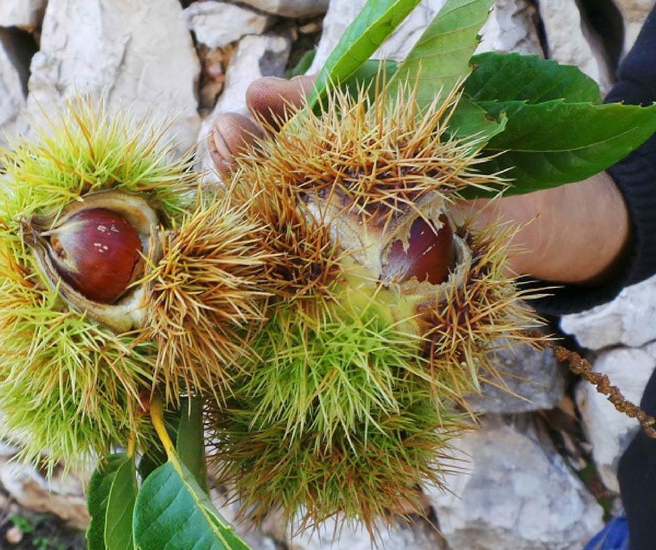 เที่ยวญี่ปุ่นเก็บผลไม้ Chestnut