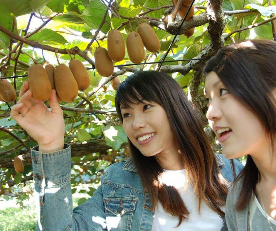 เที่ยวญี่ปุ่นเก็บผลไม้ กีวีหวานซ่อนเปรี้ยว
