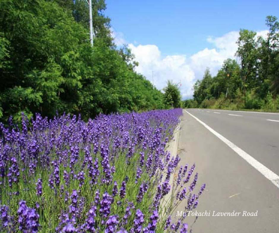 เส้นทางสายลาเวนเดอร์ ที่ Mt.Tokachi Lavender Road