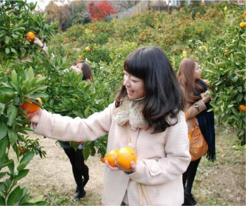 เที่ยวญี่ปุ่นเก็บส้มผลไม้มงคลแสนอร่อย