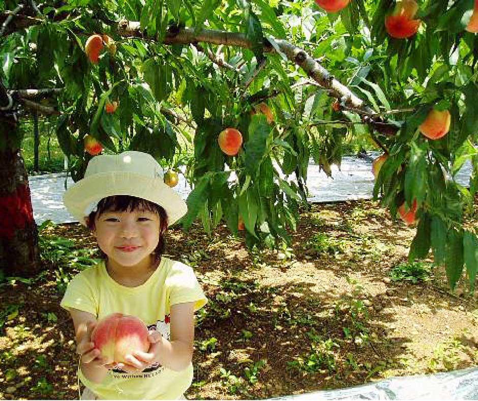 เที่ยวญี่ปุ่นเก็บพีช