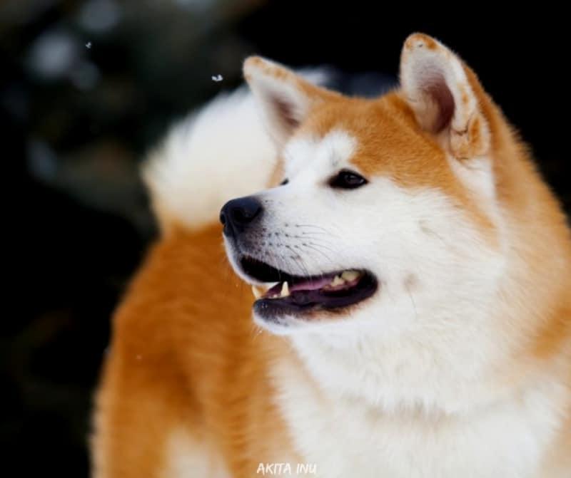 สุนัขสายพันธ์ญี่ปุ่นที่นิยม - Akita Inu