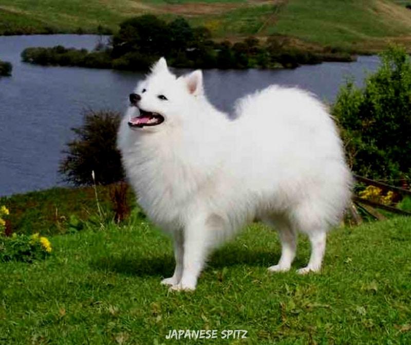 สุนัขสายพันธ์ญี่ปุ่นที่นิยม - Japanese Spitz