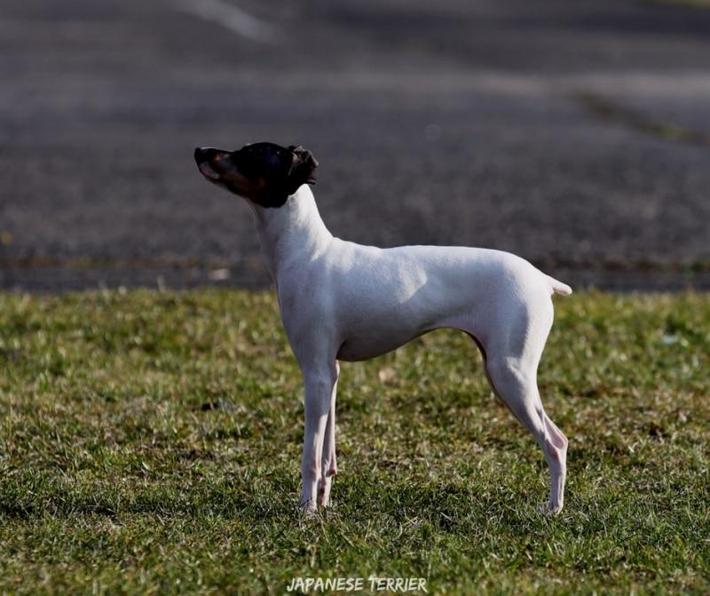 สุนัขสายพันธ์ญี่ปุ่นที่นิยม - Japanese Terrier