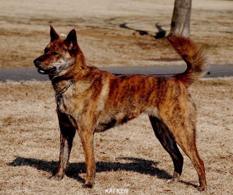 สุนัขสายพันธ์ญี่ปุ่นที่นิยม - Kai Ken