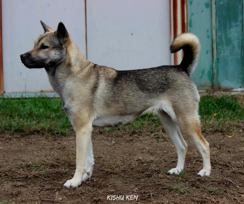สุนัขสายพันธ์ญี่ปุ่นที่นิยม - Kishu Ken
