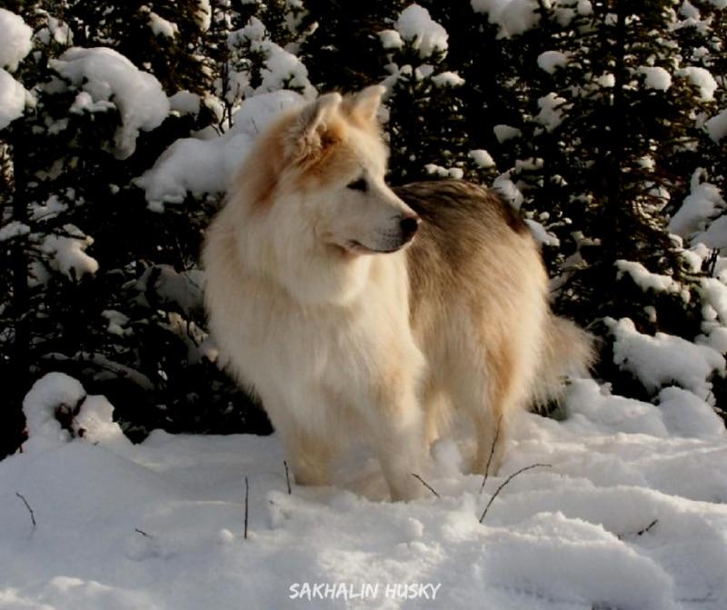 สุนัขสายพันธ์ญี่ปุ่นที่นิยม - Sakhalin Husky