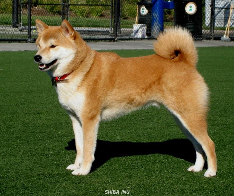 สุนัขสายพันธุ์ที่ได้รับความนิยม - Shiba Inu