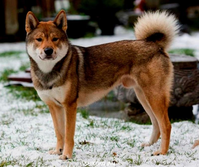 สุนัขสายพันธุ์ที่ได้รับความนิยม - Shikoku Inu