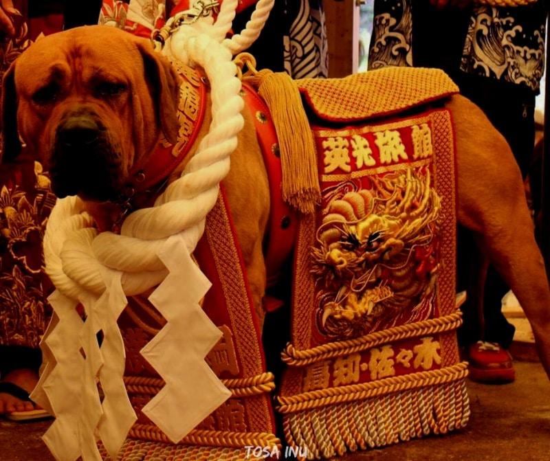 สุนัขสายพันธ์ญี่ปุ่นที่นิยม - Tosa Inu